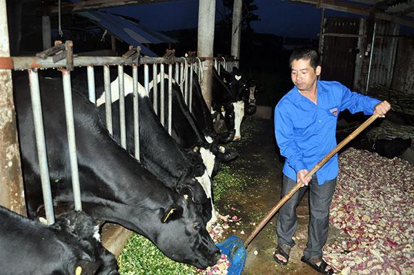 thu 150 trieuthang nho dan bo sua Nuôi bò sữa   Mang lại thu nhập lớn
