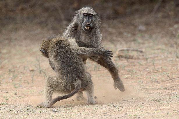 Trận quyết chiến kịch tính giành bạn tình của khỉ đầu chó 1