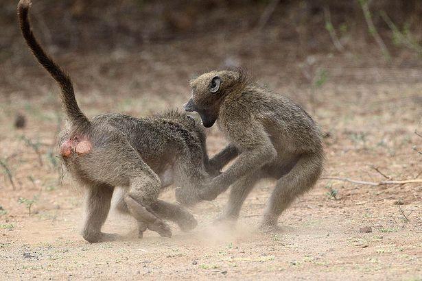 Trận quyết chiến kịch tính giành bạn tình của khỉ đầu chó 4