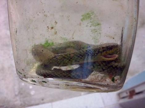 Bé trai 17 tuổi cắn chết một con rắn cực độc 1