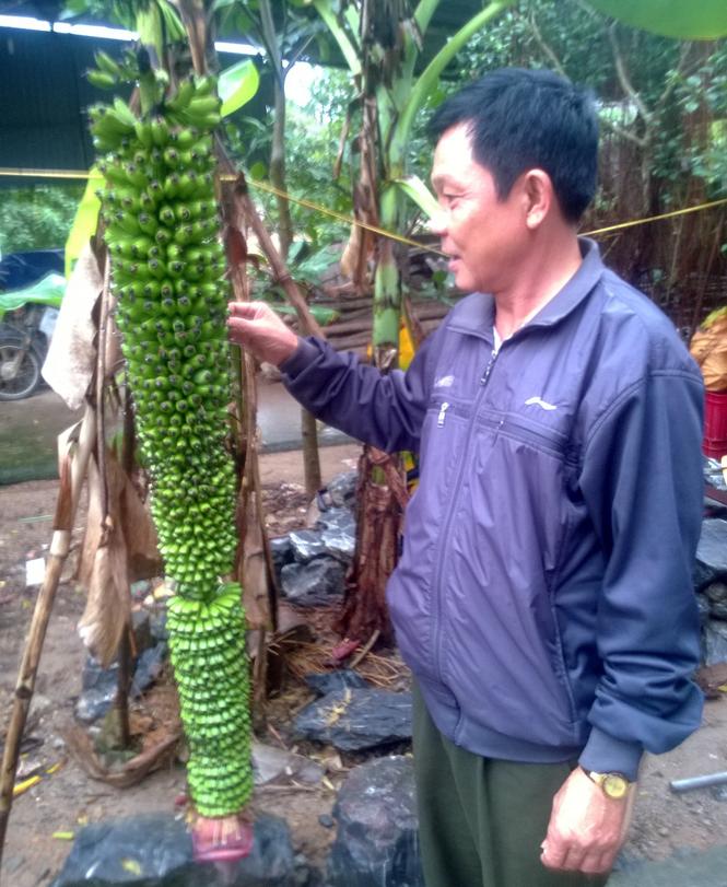 Buồng chuối kỳ lạ trổ 150 nải ở Quảng Bình 1