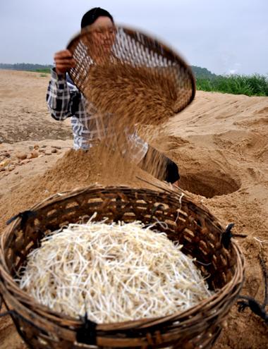 Cánh đồng giá sạch lớn nhất miền Trung sản xuất 10 tấn/ngày 3