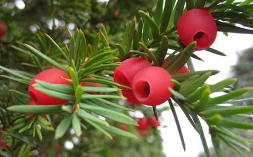 Bất ngờ cây cổ thụ nghìn năm tuổi bỗng dưng đổi giới tính 2