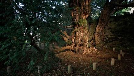 Bất ngờ cây cổ thụ nghìn năm tuổi bỗng dưng đổi giới tính 1