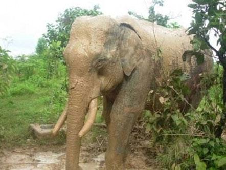 Voi Bản Đôn hoảng loạn vì voi rừng tấn công liên tiếp 1