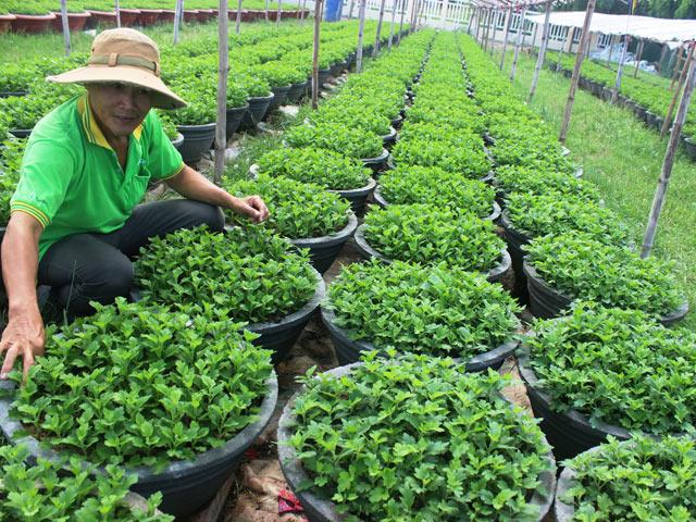 Bình Định: được mùa mưa, mất mùa hoa Tết 1