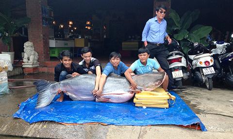 Đưa cá tra dầu nặng 200kg, dài 2m từ Campuchia về TP HCM 1