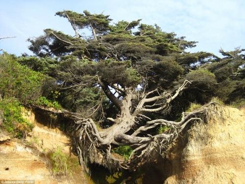 'Quái cây' cổ thụ 100 tuổi sống trên vách đá dựng đứng 1