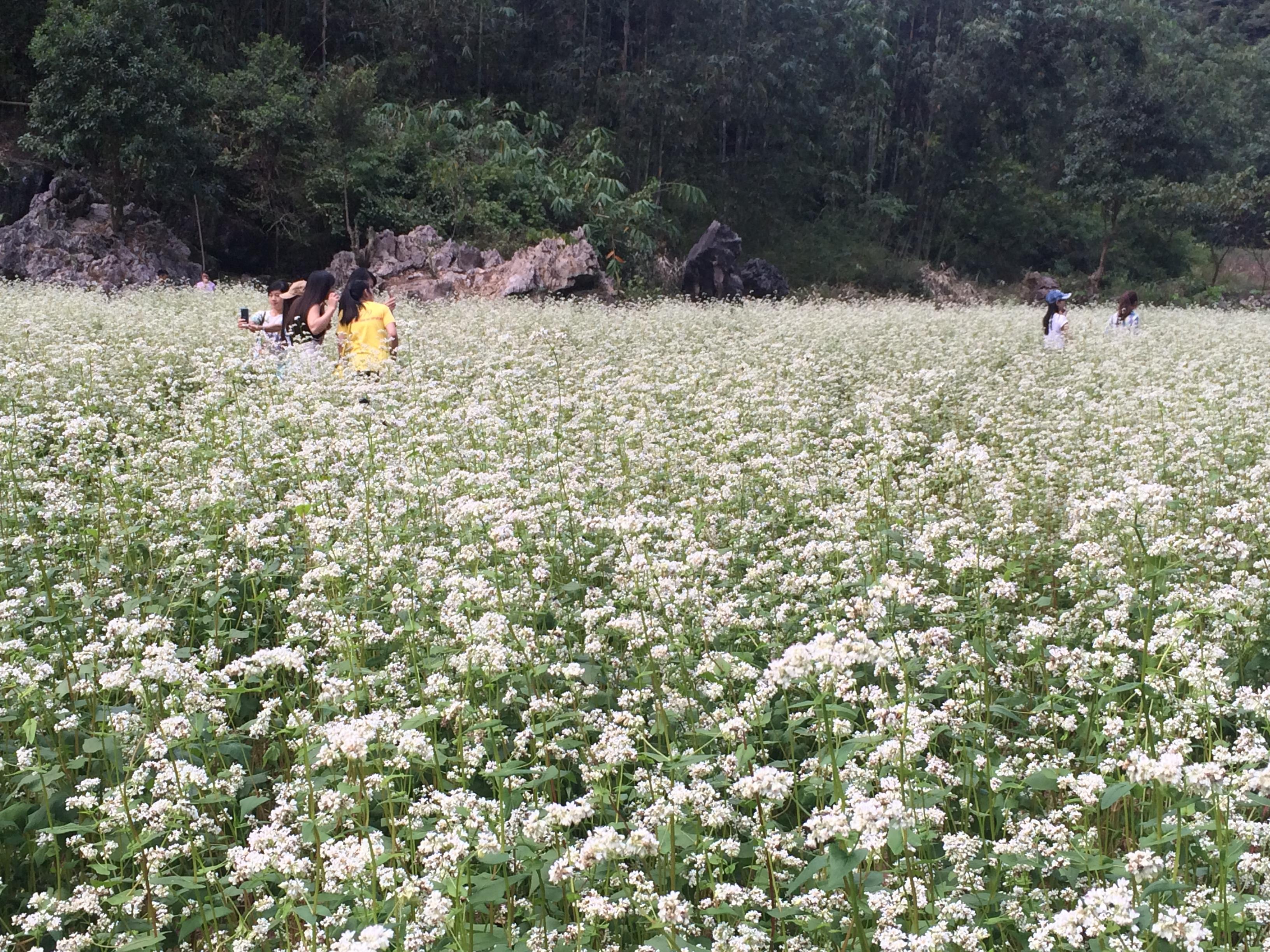 Chiêm ngưỡng hoa tam giác mạch trắng ở Lạng Sơn 2