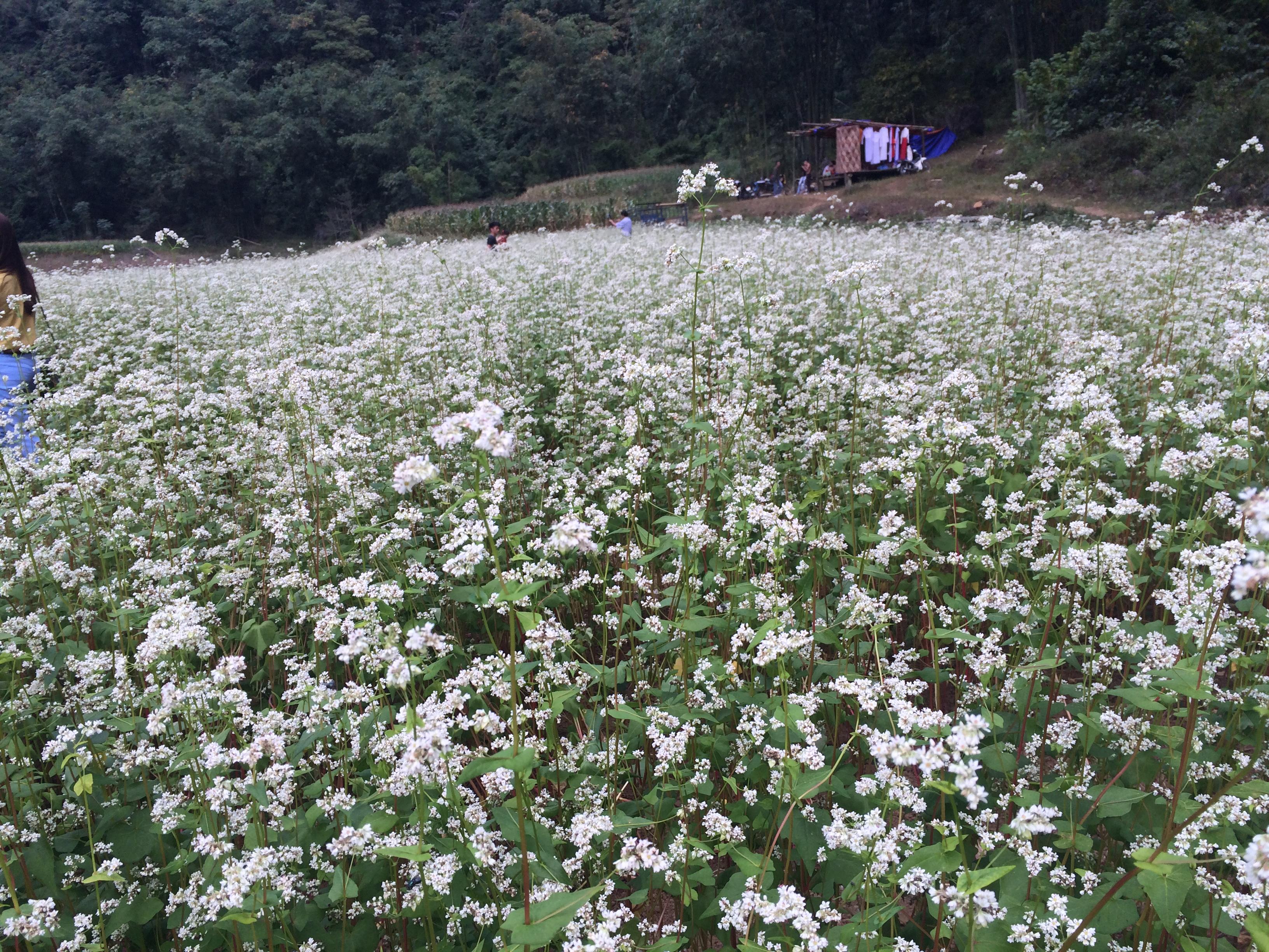 Chiêm ngưỡng hoa tam giác mạch trắng ở Lạng Sơn 5