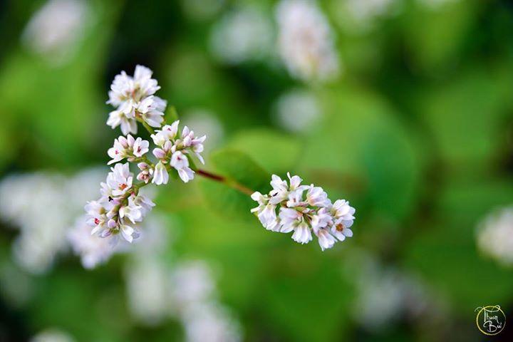 Cung phượt ngắm hoa tam giác mạch chỉ cách Hà Nội 180km 4