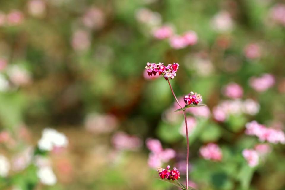 Cung phượt ngắm hoa tam giác mạch chỉ cách Hà Nội 180km 5