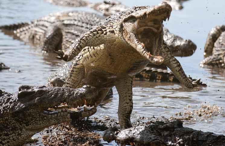 Indonesia tìm cá sấu dữ tợn nhất canh gác tội phạm ma túy 1