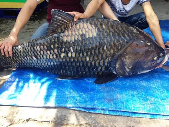 Ngư dân bắt được cặp cá hô khủng nặng 240kg  2