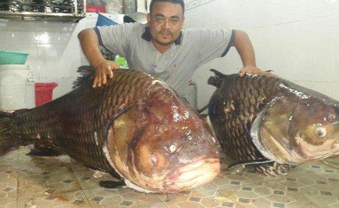Ngư dân bắt được cặp cá hô khủng nặng 240kg  4