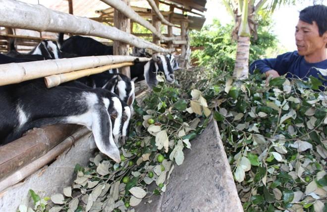 Hình ảnh Táo 1.000 đồng/kg, thanh long 5.000 đồng/kg, dân đổ cho bò ăn số 1