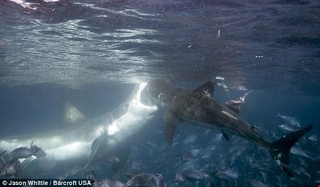 Kinh hoàng cảnh cá mập khổng lồ điên cuồng tấn công đồng loại  1