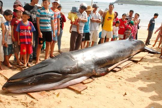 Cá voi xanh nặng 2 tấn dạt vào bờ biển Phú Yên 1