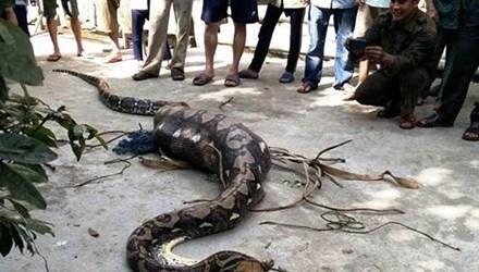 Trăn dài 5 m, nặng 30 kg bị bắt khi vừa nuốt chửng một con bê 1