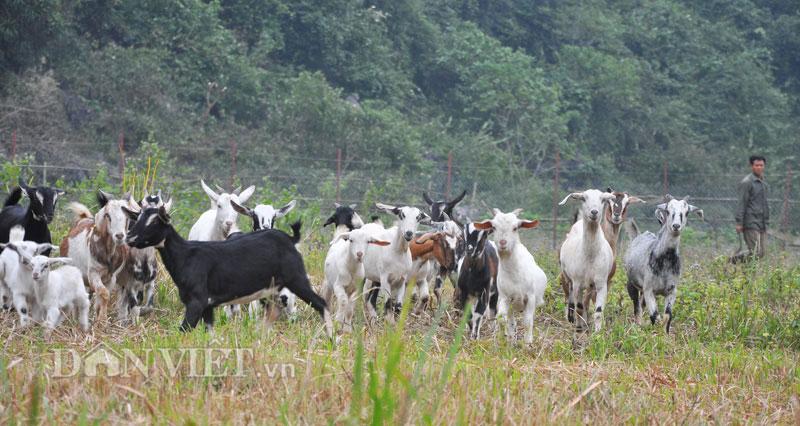Đại gia Việt lên rừng săn dê tiền triệu ăn Tết 1