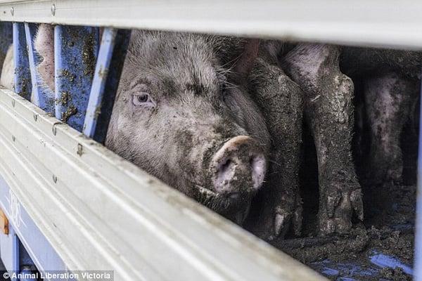 Xót xa đoạn clip đàn lợn vùng vẫy khi bị giết bằng khí ngạt 1