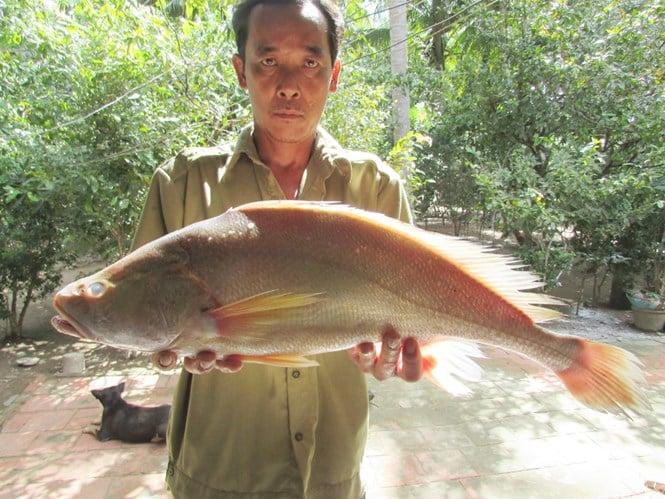 Ngư dân miền Tây bắt được cá lạ nghi cá Sủ vàng, trả 200 triệu chưa bán 1