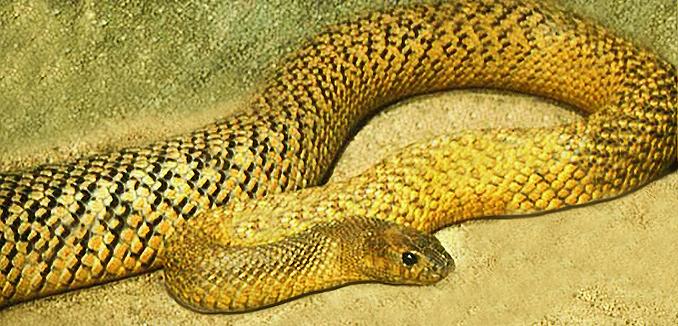 Cận cảnh loài rắn độc gấp 300 lần hổ mang bành đủ giết 100 người 3