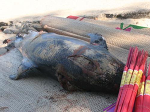 Cá heo 100kg chết dạt vào bờ biển Quảng Ninh 1
