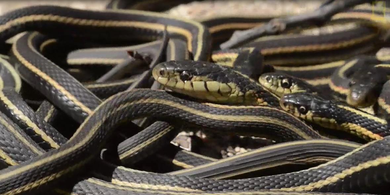 Video: Chơi đùa với hàng vạn con rắn tại động rắn ở Canada 1