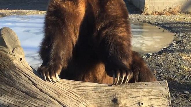 Thót tim cảnh người đàn ông để tay vào miệng gấu khủng 3