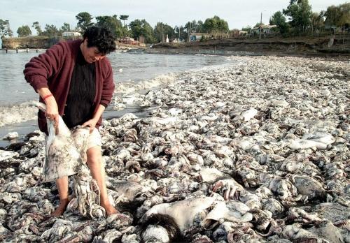 Bí ẩn 10.000 con mực 'khủng' chết trắng xóa bờ biển  1