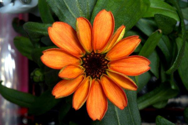 Bông hoa đầu tiên bung nở trên Trạm vũ trụ quốc tế 1