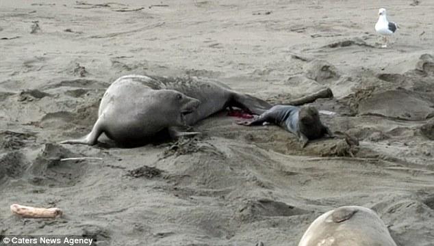 Video: Khoảnh khắc hải cẩu sinh con đầy kịch tính 1