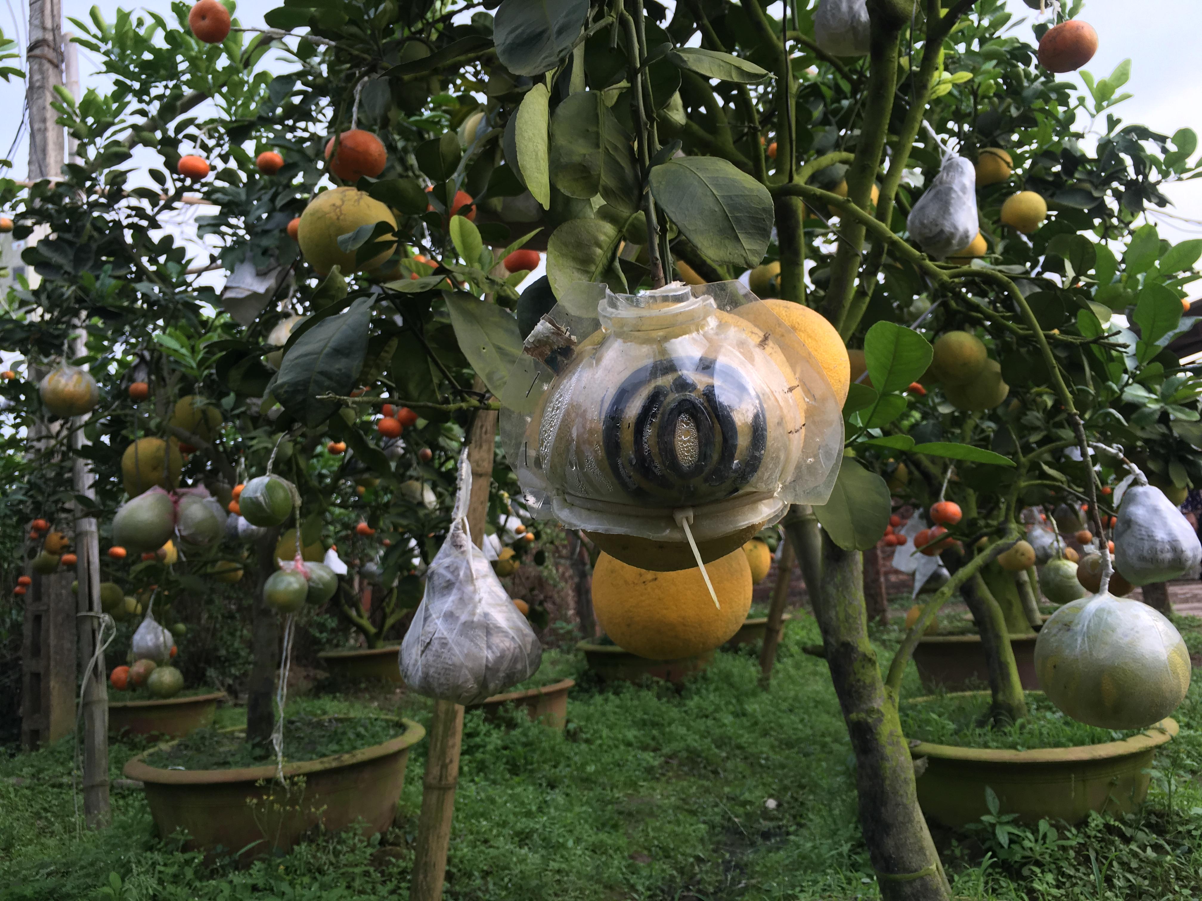Chiêm ngưỡng vườn cây 10 loại quả độc đáo của lão nông Hà Thành 6