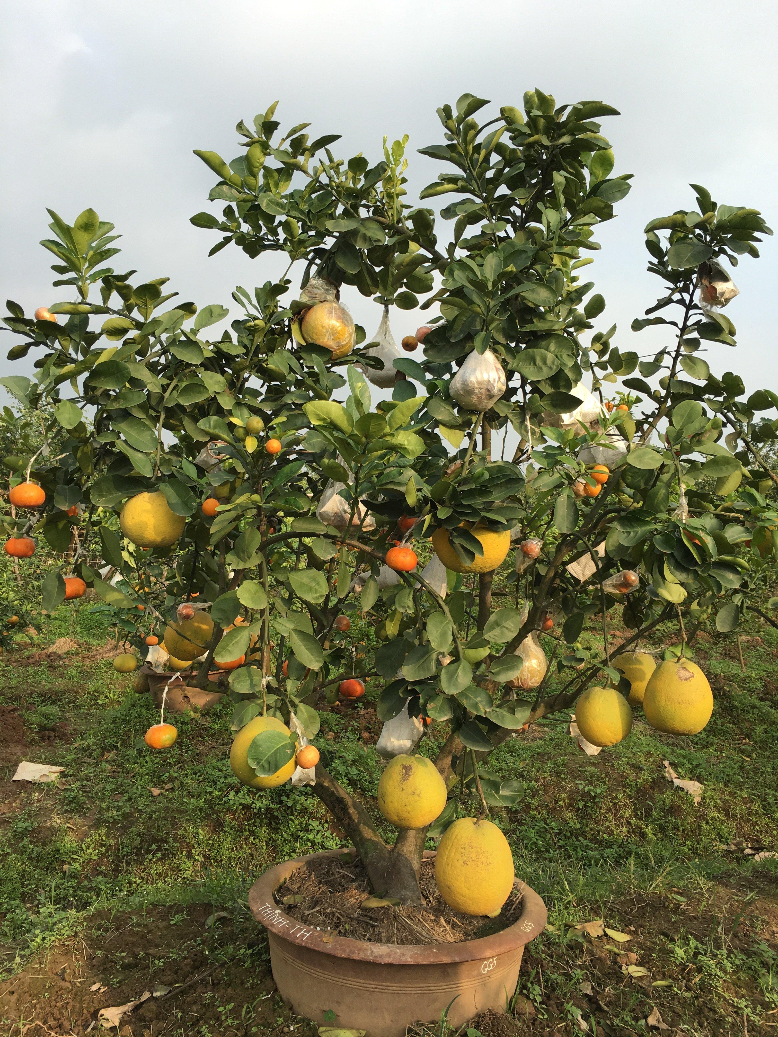 Chiêm ngưỡng vườn cây 10 loại quả độc đáo của lão nông Hà Thành 3