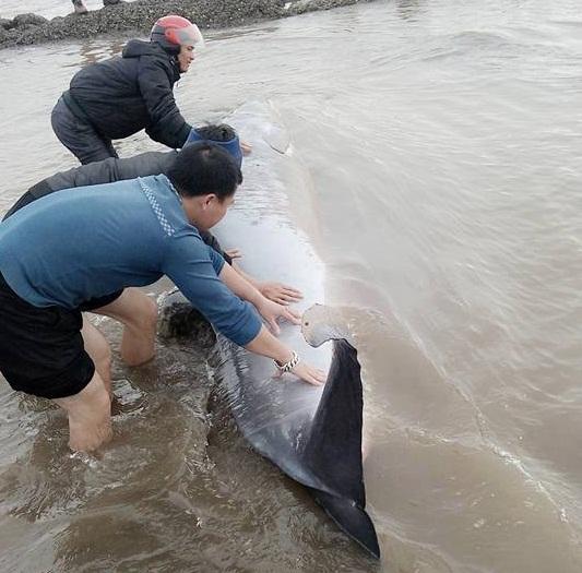 Thực hư vụ cá voi dạt vào bờ bị ngư dân xẻ thịt ở Nam Định 2