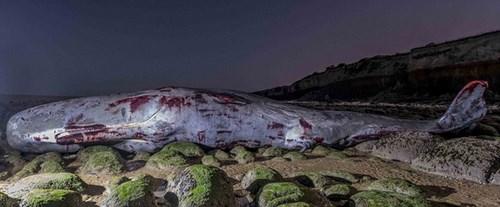 Phát hiện cá nhà táng khủng 30 tấn chết dạt vào bờ biển 3