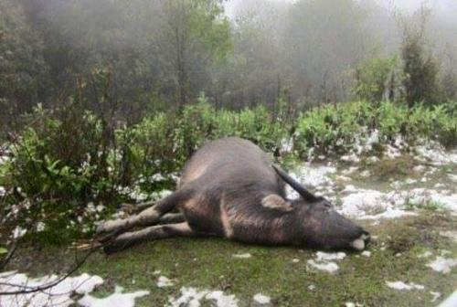 Rét hại khiến hàng chục con trâu, bò chết 1