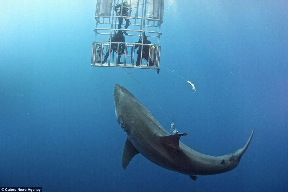 Hãi hùng cảnh thợ lặn đối mặt với con cá mập trắng đói  4