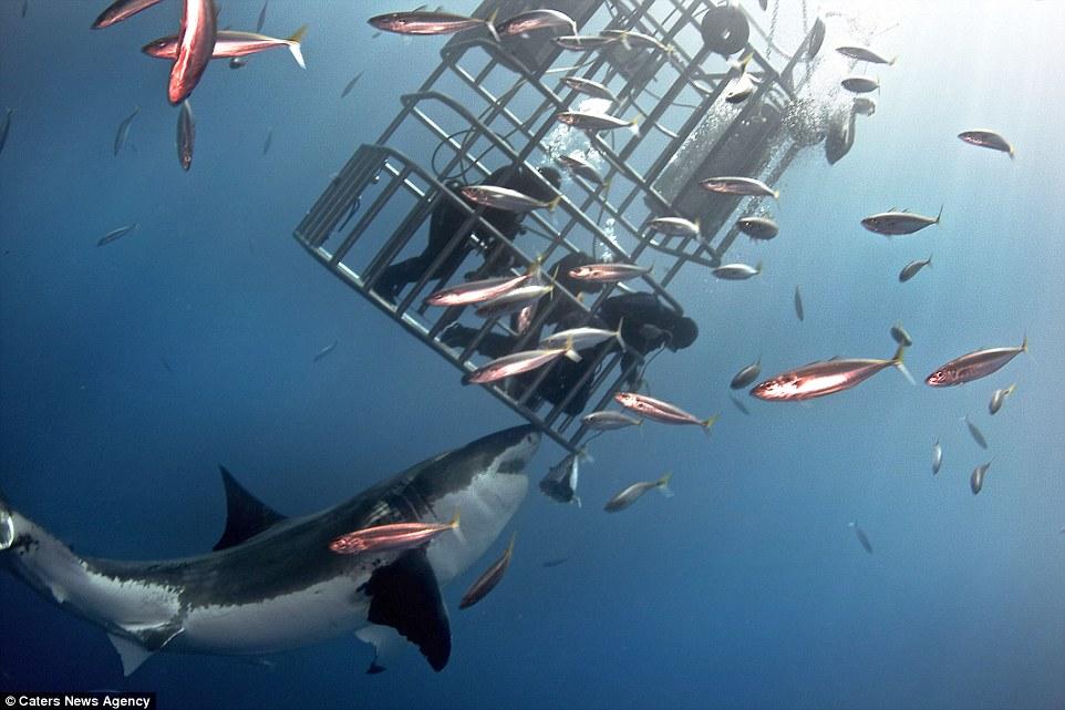 Hãi hùng cảnh thợ lặn đối mặt với con cá mập trắng đói  3