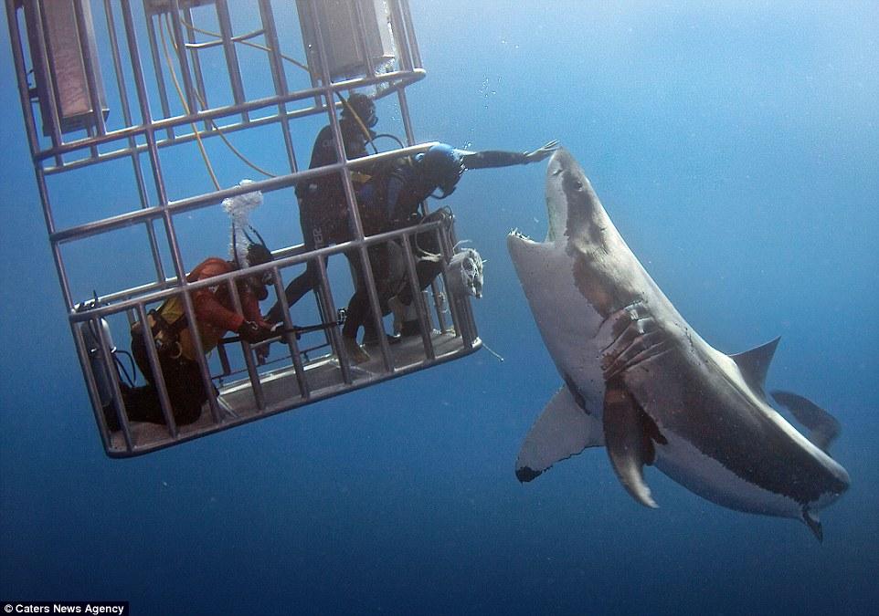 Hãi hùng cảnh thợ lặn đối mặt với con cá mập trắng đói  1