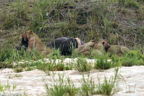 Trâu rừng quyết chiến khốc liệt, húc xuyên thân sư tử 4