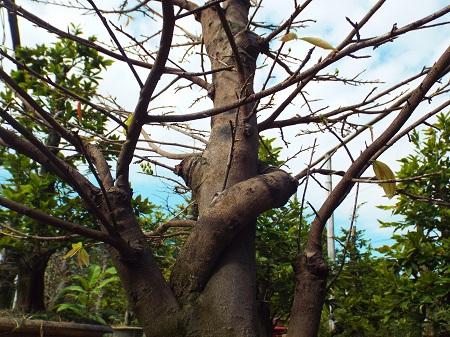 Vườn mai bạc tỷ phố biển Nha Trang 2