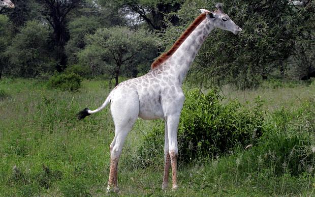 Cận cảnh chú hươu cao cổ màu trắng hiếm nhất trên thế giới 2