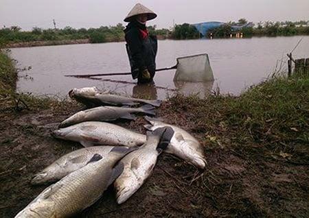 Thái Bình: Cá chết rét hàng loạt, nông dẫn mất trăm triệu 1