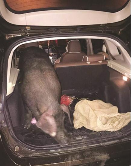 Sếp tặng lợn cho nhân viên làm quà 1