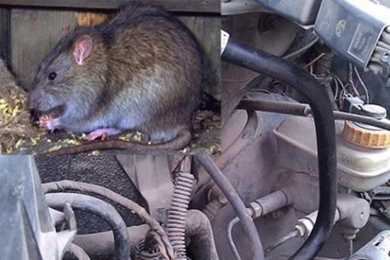 """Ôtô và """"mối đe dọa"""" từ chuột 1"""