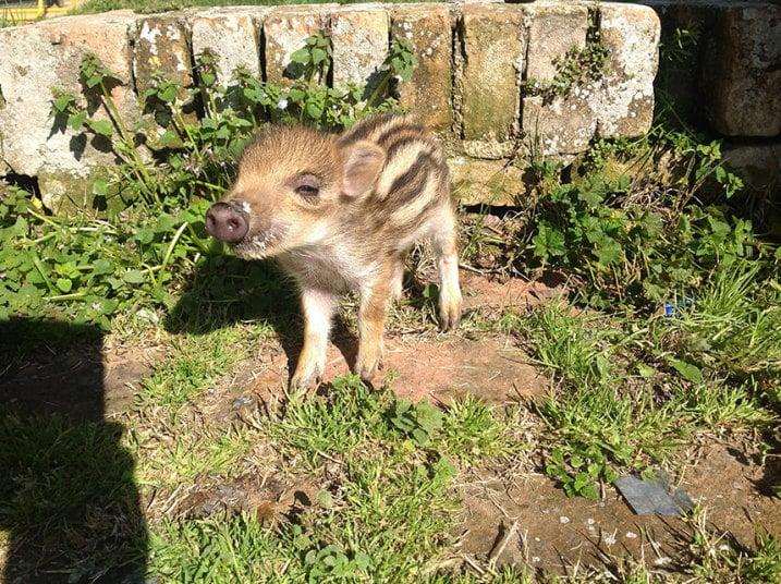 Cặp vợ chồng nuôi lợn rừng
