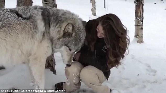 Video: Cô gái xinh đẹp hôn sói hoang 'khổng lồ' hút hàng nghìn lượt xem 3