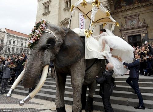 Dùng voi châu Phi để rước dâu gây xôn xao 3